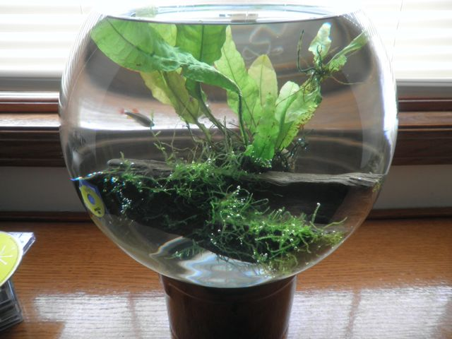 2 gallon fish bowl w java plants the planted tank forum for 2 gallon fish bowl